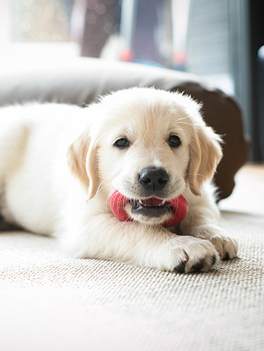 Golden retriever puppy with red chew toy in mouth