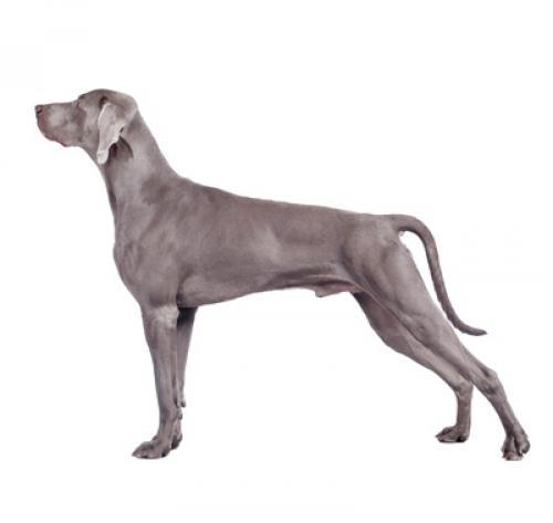 Weimaraner (Short/smooth coat)